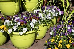 Flower shop with pansies in spring royalty free stock images