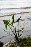 Flower on the shore. A plant with small white blooms growing in the edge of the water of the Ohio river royalty free stock photo