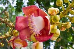 Flower shorea robusta Roxb. Plants in India Royalty Free Stock Image