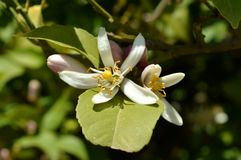 Flower of Sicily, Close-up of Lemon Blossoms, Nature, Macro royalty free stock photos