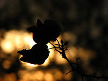 Flower Silhouette Stock Photo