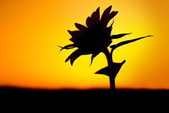 Flower silhouette against sunlight Royalty Free Stock Images