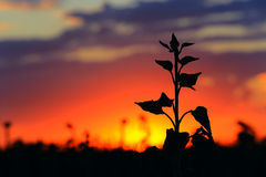 Flower silhouette on sunset Stock Image