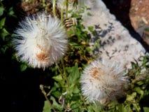 Flower. Silky flower in sunlight Stock Photo