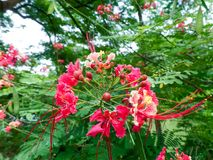 Flame Tree Flower royalty free stock photography