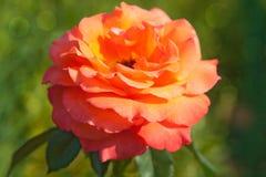 Flower orange rose on green natural background. Flower Single orange rose on green, natural background. Summer garden concept stock photo