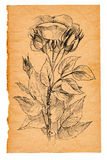 Flower sketch on old paper. Background Royalty Free Stock Images