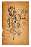 Flower sketch on old paper background Royalty Free Stock Photos