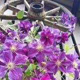 Flower2sky开花purpel雨轮子老棚子墙壁铁线莲属 库存图片