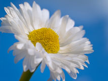 Flower with sky. White flower with blue sky Royalty Free Stock Image