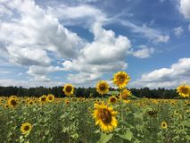 Flower, Sky, Field, Sunflower royalty free stock photo