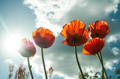 Flower, Sky, Wildflower, Poppy Royalty Free Stock Images
