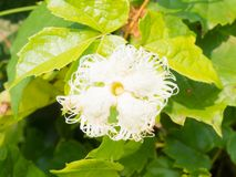 Flower of snake gourd Stock Photos