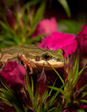 Flower Sniffing Frog Stock Photos