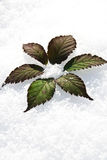 Flower in Snow Stock Image