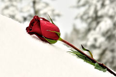 The flower on a snow Royalty Free Stock Image