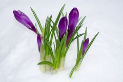 Flower in the snow Royalty Free Stock Images