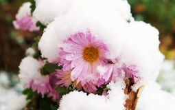Flower in the snow!. Abrupt cooling, freezing flowers, pink chrysanthemum, cold season, snowfall, abnormal weather, autumn, ecological imbalance, balance Stock Photo