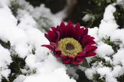 Flower on snow covered branches Royalty Free Stock Image