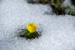 Flower in snow. Early flower Winter aconite  at melting snow Stock Photo