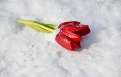 A flower on the snow Stock Images