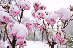 Flower and snow. The sakura flowers covered with snow Royalty Free Stock Photos