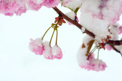 Flower and snow Royalty Free Stock Images