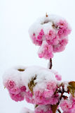 Flower and snow Stock Photography