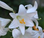 Flower of snow-white garden lily. With pistil, stamens and yellow pollen macro Stock Images