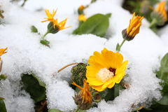 Flower in snow. Flower Winter aconite at melting snow Royalty Free Stock Photography