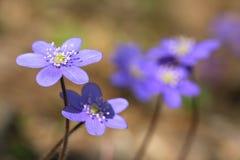Flower a snowdrop Stock Photos