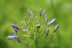Flower,Society Garlic,Pink Agapanthus,Wild Garlic,Nodding Catchfly Royalty Free Stock Photos