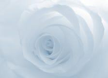 Flower sofr white blue rose Stock Photo