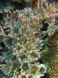 Flower Soft Coral Stock Images