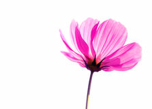 Flower soft focus on  background. Cosmos flower with white background Stock Image