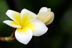 Flower soft focus , blurred focus. Plumeria flower soft focus , blurred focus Stock Photos