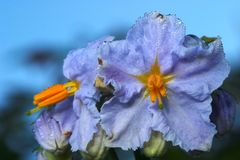 Flower  ( Solanum nigrum ) Stock Photography