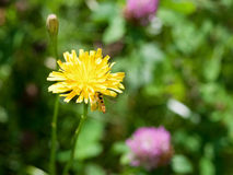 Flower sonchus and hoverfly Royalty Free Stock Photo