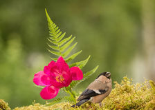 Flower song. Female bullfinch standing with flower Royalty Free Stock Image