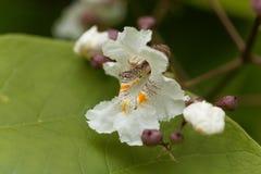 Flower of a Southern Catalpa tree. Catalpa bignonioides Royalty Free Stock Photography
