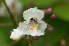 Flower of a Southern Catalpa tree. Catalpa bignonioides Royalty Free Stock Photos