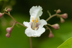Flower of a Southern Catalpa tree. Catalpa bignonioides Royalty Free Stock Image