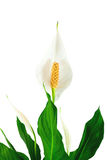 Flower spathiphyllum, background Stock Image