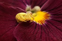 Flower Spider Misumena vatia or Goldenrod crab spider on Pansy Royalty Free Stock Photos