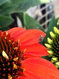 Flower and spider Stock Photography