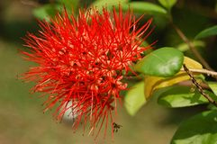 Flower spike. Is Red Color Stock Image