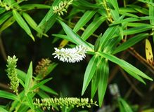 A flower spike covered with hundres of small white flowers. Hundreds of small white flowers on a flower spike. It is on a green bush, with other spikes covered Stock Photos