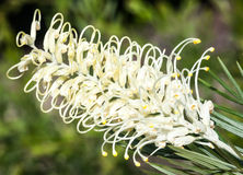 Flower Spike of the Grevillea 'Moonlight' Cultivar Stock Photography