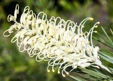 Flower Spike of the Grevillea 'Moonlight' Cultivar. Dramatic flower of Australian native cultivar Grevillea 'Moonlight' with ants stock photography