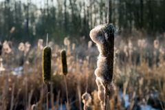 Flower spikes of broadleaf cattail from close. Closeup of flower spikes of broadleaf cattail or Typha latifolia in low afternoon sunlight. The picture is taken Royalty Free Stock Image